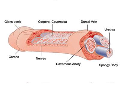 Ayurvedic Treatment for Erectile Dysfunction   Sexual